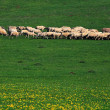 Sheep on a meadow — Stock Photo #26100277