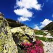 Mountain flowers in National Park Retezat — Stock Photo