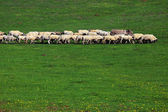Sheep on a meadow — Stock Photo