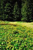 Spring flowers in National Park Retezat — Stock Photo