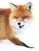 Fox portrait — Stock Photo