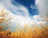 Golden wheat field with cloudy sky in background — Stock Photo