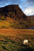 Sheep and coastline — Stock Photo