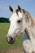 Portrait of a white horse — Stock Photo