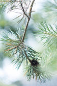 Closeup of green fir tree or pine branches with bokeh — Stock Photo