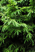 Green branches of a fur tree or pine — 图库照片