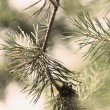 Green fir tree — Stock Photo