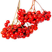 Winter berry branch with red holly berries hanging — 图库照片