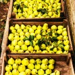 Freshly picked yellow pears in a wooden boxes at a famers market — Stock Photo