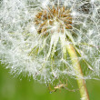 Dandelion with water drops — Stock Photo