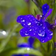 Dew drops on the flower — Foto Stock