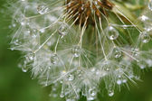 Dandelion in close with morning dew — Stock Photo