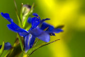 Blue flowers on a green background — Stock Photo