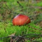 cogumelos de macro — Fotografia Stock  #31004991