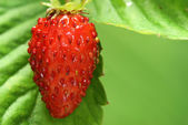 Garden strawberry — Stock Photo