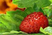 The strawberry leaf — Stock Photo