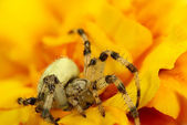 Spider in yello — Foto de Stock
