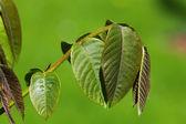 Macro spring leaves in green — Stock Photo