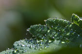 Leaf with many dew drops — Stock Photo
