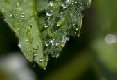 One leaf with dew drops — Stock Photo