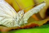 Motýl makro — Stock fotografie