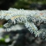 Pine tree branch with needles — Stock Photo