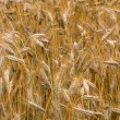 Full Frame of Wheat — Stock Photo