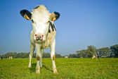 Flemish cow in the field — Foto Stock