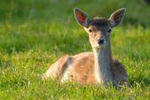 затуманенное выстрел оленя в траве — Стоковое фото