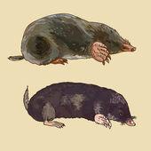 Mole, vector illustration — Stock Vector
