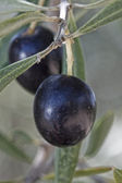 Olive oil tree — Stock Photo