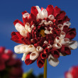Red and white dahlia. — Stock Photo
