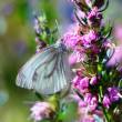 Green-veined white (pieris napi). — Stock Photo