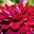 The beauty of flowers - crimson dahlia. — Stock Photo