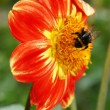 The beauty of flowers - red and yellow dahlia with a bumblebee. — Stock Photo