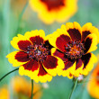 Hugs... coreopsis flowers. — Stock Photo