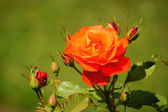 A beauty of flowers - red rose. — Stock Photo