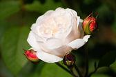 Krása květů - bílé růže. — Stock fotografie