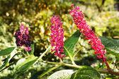 Indian poke, pokeweed or pokeberry (phytolacca acinosa). triple portrait. — Stock Photo