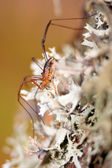 Daddy longleg, or harvectmen (opiliones). — Foto Stock