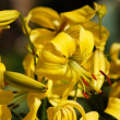 Stock Photo: Beauty of flowers - yellow lily (lilium).