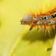 The beauty of insects - lappet moth (phyllodesma ilicifolia) caterpillar. — Stock Photo