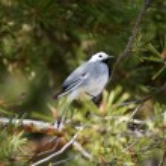 White wagtail (motacilla alba) on a pine. — Stock Photo