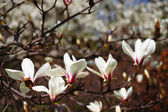 Blooming magnolia. — Stock Photo