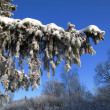 Frozen fir branch. — Stock Photo