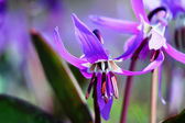 Siberian fawn lily (erythronium sibiricum) 1. — Stock Photo