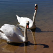 A pair of swans. — Stock Photo