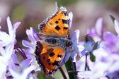 Scarce tortoiseshell butterfly (nymphalis xanthomelas) first spring feeding. — Stock Photo