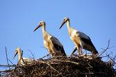 Weissstorch-familie in das nest-nahaufnahme. — Stockfoto