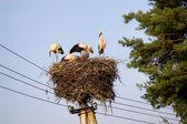 Bocian biały rodziny pracy nad gniazdem. — Zdjęcie stockowe